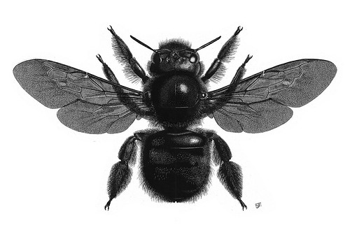 Xylocopa violacea female illustration