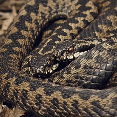 entwined (Black Cat Photos) Tags: uk 2 wild two england nature beautiful spectacular couple pattern reptile snake wildlife pair yorkshire reserve wrap peat camouflage cuddle stunning british moor viper bog britishwildlife britian entwine adder poisonous venomous viperaberus commonviper commoneuropeanadder