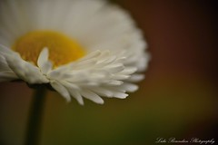 Fiore (Lidie71) Tags: white flower macro up nikon close 150 fiore wit bianco bloem dcr raynox 55300mm d3100