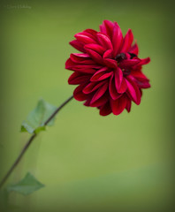I must have flowers, always, and always (loobyloo55) Tags: dahlia flowers red flower green