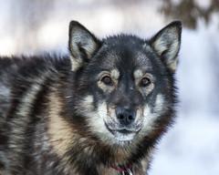 Opus (DenaliNPS) Tags: dog snow alaska outdoors husky denali sleddog denalinationalpark denalinationalparkandpreserve
