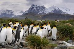 The Kingdom of Kings (pdxsafariguy) Tags: mountain snow bird grass penguin wildlife remote southgeorgia tussock salisburyplain ecotourism tomschwabel kingpenguin aptenodytespatagonicus subantarctic