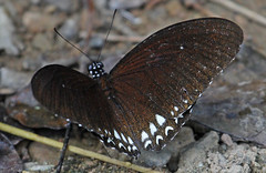 Th13_06598a (jerryoldenettel) Tags: butterfly insect thailand mime papilionidae 2013 chilasaclytia commonmime kaengkrachan chilasa kaengkrachannationalpark