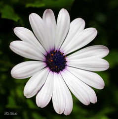 a daisy a day.. (Foto.Bloke) Tags: flower nature petals florida daisy