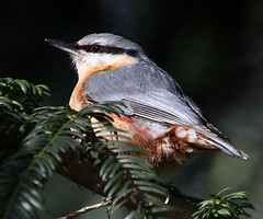 Hatching Nutty Plans [eXPLoReD] (Ger Bosma) Tags: nuthatch sittaeuropaea boomklever kleiber trepadorazul sittelletorchepot picchiomuratore mygearandme mygearandmepremium mygearandmebronze rememberthatmomentlevel1 rememberthatmomentlevel2 rememberthatmomentlevel3 img79193afiltered