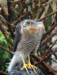 SPARROWHAWK sma birds 046 (ivorrichardk) Tags: sparrowhawksmabirds