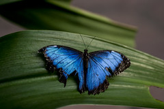 Morpho helenor peleides (Paul_Heineman) Tags: blue summer hot holland green netherlands amsterdam yellow butterfly zoo nikon warm eating tropic morpho tamron 90mm spec artis vlinder tamron90mm caligo peleides heliconius helenor d3100 nikond3100