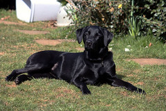 Ziva, Saltford, 5 April 2013 (Kev Slade) Tags: dogs labrador saltford ziva