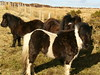 Shetland Ponies (stuartcroy) Tags: old blue winter light sky colour reflection beach beautiful weather landscape island bay scotland still orkney scenery tranquility panasonic pony ripples loch shetland kirkwall dmcfz10 orphir photographyforrecreation flickrstruereflection1 rememberthatmomentlevel1