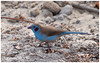 Red Cheeked Cordon Bleu (dralun10) Tags: naturesharmony mygearandme mygearandmepremium allofnatureswildlifelevel1