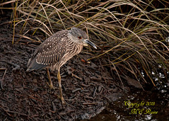 Yellow Crowned Night Heron (Juvenile) During Sunset at Mill Creek Marsh in Secaucus NJ (Meadowlands) (takegoro) Tags: night creek crowned marsh yellow nature wildlife sunset heron meadowlands mill nj birds secaucus heron