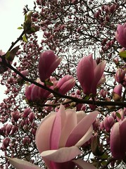 Magnolia Blossoms (ngolebiewski) Tags: park nyc flower spring blossoms central bloom magnolia reddishpurple