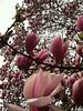 Magnolia Blossoms (ngolebiewski) Tags: park nyc flower spring blossoms central bloom magnolia reddishpurple