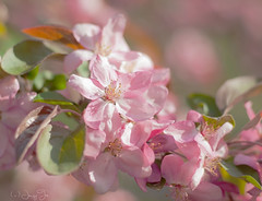 Apple Blossom Time (JacquiTnature) Tags: pink flowers nature garden spring bokeh bloom crabapple appleblossom zuiko50mmf18 profussion jacquit