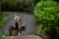 cat (NEKOFighter) Tags: cat neko nikon japan straycat