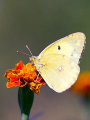 Clouded Sulphur Butterfly (Johnnie Shene Photography(Thanks, 1Million+ Views)) Tags: cloudedsulphurbutterfly cloudedyellowbutterfly sulphurbutterfly yellowbutterfly butterfly animal perching resting awe wonder depthoffield feeding nature natural wild wildlife behaviour watching macro closeup magnified adjustment vertical photography outdoor colourimage fragility freshness nopeople tranquility tranquilscene fulllength sideview marigold flower flora plant canon eos600d rebelt3i kissx5 tamron 90mm f28 11 lens      shene81