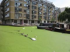 family of swans (squeezemonkey) Tags: london canal regentscanal grandunioncanal waterway wenlockbasin swans birds cygnets duckweed apartments building boats