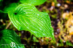 Green (JohnBorsaPhoto) Tags: buffalo urban green rain richmondavenue nature plant leaf leaves drought wet water precipitation shower showers thunder storm rainstorm