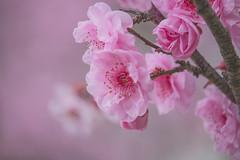 Sakura in Hanami 🌸 2 (satochappy) Tags: cherryblossoms sakura sydney auburnbotanicgardens japanesegarden garden hanami spring 桜 花見 桜祭り 花 春 オーストラリア australia pink