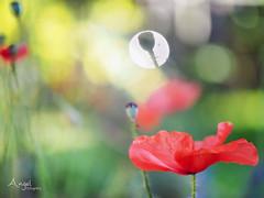 poppy in bokeh (Wilma van Oorschot) Tags: wilmavanoorschot angel olympusem5 olympusomde5 poppy bokeh colors flowers garden outdoor summer lights leicadgmacroelmarit45f28 f28