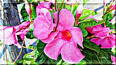 Pink  (Kathy_9) Tags: pspx9 topazimpression topazglow topazsimplify pink flower hss gradient kathy9 fencepost