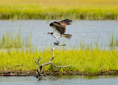 Posing Osprey (Daveyal_photostream) Tags: nikon nikor nature meandmygear mygearandme mycamerabag motion movement d600 marsh anawesomeshot outdoor osprey bird talons beak feathers wings water shoreline waterscape animal serene strikeapose