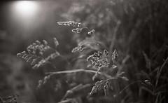 4 exp 1200 (deniscadiou) Tags: argentique acros bw bokeh fleur canon concave chrome reflet lith