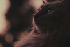 Olivia (J.J.Evan) Tags: gato cat atardecer sunset twilight canon bokeh ojo eye animal power energy aura serenity