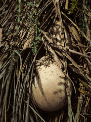 Addled Eggs (Steve Taylor (Photography)) Tags: addeled off egg rotten urine newzealand nz southisland canterbury bankspeninsula weeds littleriver freckles spots