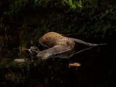 Triste fin (franki2correze) Tags: brocard chevreuil capreolus mort dead