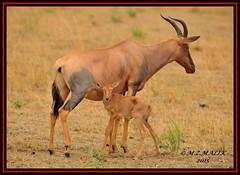 TOPI (Damaliscus lunatus jimela)......MASAI MARA......OCT 2015 (M Z Malik) Tags: nikon d3x 200400mm14afs kenya africa safari wildlife masaimara maraserena transmara exoticafricanwildlife topi ngc npc