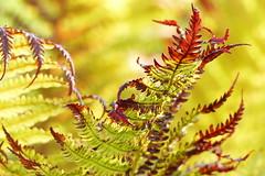 Fern (evisdotter) Tags: fern ormbunke morning light colors macro bokeh sooc coth5