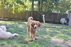 DSC_0091 (ghoulia) Tags: goldendoodle goldenretriever poodle labradoodle labrador rovercom dogvacay