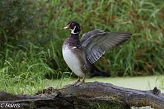 Wood Duck _ Carolin (skivoile) Tags: coth5 sunrays5 wood duck carolin