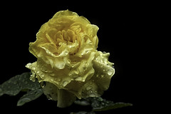 Soaked (FocusPocus Photography) Tags: rose gelb yellow nass wet regen rain drops droplets tropfen durchnsst soaked blume flower