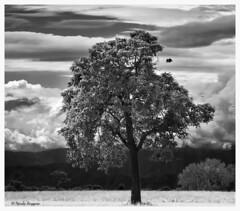 Memory of tree  Nicola Roggero (Nicola Roggero) Tags: tree albero mountains nature bird nikon d5300 blackwhite clouds alone nicolaroggero quiet peace