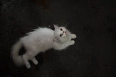 Sana (Ravikanth K) Tags: 500px domestic animal cat white furry pet two coloured eyes cute topangle aerial view fromabove outdoor up staring pussy aerialview birdseyeview