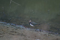 Lapwing (Bazza3000) Tags: birds lapwing abberton colchester essex