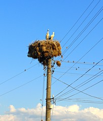 Storks in their nest on telephone pole, Polyanovo, Bulgaria (ali eminov) Tags: poles telephonepoles polyanovo bulgaria nests animals birds storks