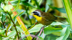Common Yellowthroat (Bob Gunderson) Tags: birds california commonyellowthroat geothlypistrichas goldengatepark northlake northerncalifornia sanfrancisco warblers woodwarblers