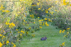 say hello to mr. bunny (contemplative imaging) Tags: 2016 20160910 cipvca20160910d7000 d7000 september america american area bunny center conservation contemplativeimaging cool day digital district dslr flowers grass il ill illinois mchenrycounty midwest midwestern natural nature nikon park partlysunny photo photography pleasantvalley rabbit ronzack saturday summer trail usa wildflower wildflowers yellow