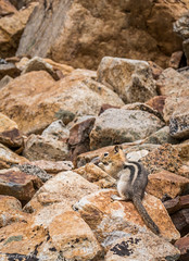 _1160063_1920.jpg (wlvreenz) Tags: callospermophiluslateralis goldenmantledgroundsquirrel piutecrags animal fauna rodent inyonationalforest ca usa