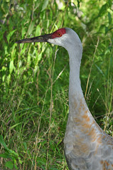 One Friendly Crane (River Wanderer) Tags: sandhillcranes kensingtonmetropark nikon d5000 55300