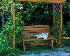Oscar Hates this Pergola (photocat001) Tags: oscar hates pergola humor animals cat playful fun