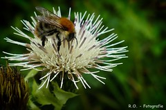 Hummel / Bumblebee (R.O. - Fotografie) Tags: hummel bumblebee makro macro closeup close up pflanze natur nature bokeh outdoor bad driburg panasonic lumix dmcfz1000 dmc fz1000 fz 1000