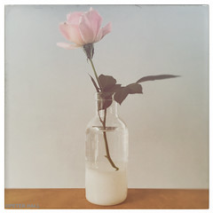 Gentleness, Happiness & Love (peterphotographic) Tags: 201609251049131edwm iphone apple 6s peterhall walthamstow eastlondon london england uk square flower rose pink gentleness happiness love happy vase homegrown garden leaf posy faded autumn