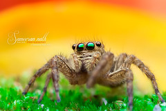 Is that a rainbow! (Sameeran_Nath) Tags: india macro nature 50mm spider jumping eyes colorful background wildlife f11 median arthropods nath salticidae 600d sameeran