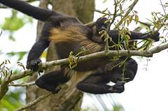 Scimmia urlatrice con cucciolo (recondoontheroad) Tags: fauna costarica mona punta congo provincia limon scimmia urlatrice mansanillo