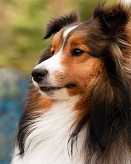 Camping Keegie (SavingMemories) Tags: camping portrait dog eye hair fur sheltie longhair sable keegan mansbestfriend gaze shetlandsheepdog petportrait miniaturecollie savingmemories suemoffett sunrays5 campingkeegie