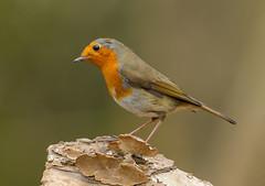PL1D2147 Robin (Erithacus rubecula) Whitacre Heath, Warwickshire 06 Feb 2013 (Lathers) Tags: robin birds erithacusrubecula february warwickshire 2013 warwickshirewildlifetrust canon1dmarkiv whitacreheath canonef500f4lisusm wkwt